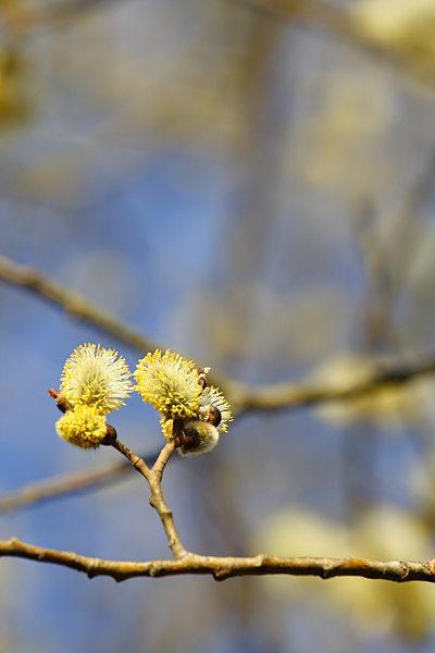 Salix caprea männliche Weidenkätzchen