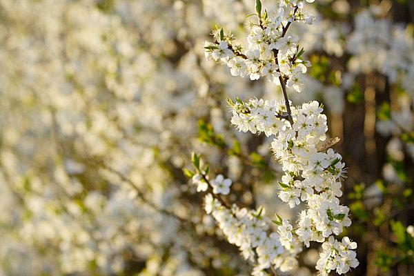 Schlehenblüte (Prunus spinosa)