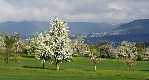 Birnbäume in Blüte mit Blick auf die schwäbische Alb / den Hohenneuffen