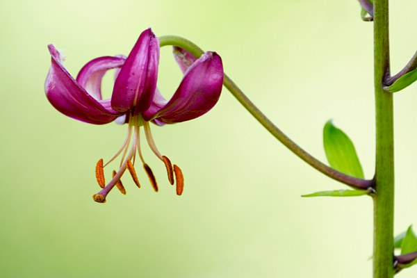 flowering lily