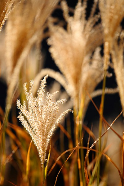 Miscanthus sinensis in autumn