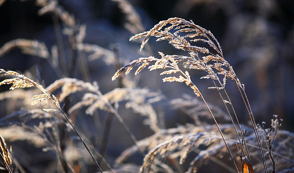 grasses with hoarfrost, backlight