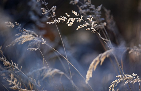 backlit grasses with hoarfrost