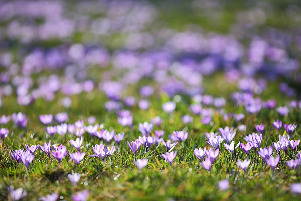 crocus meadow of Zavelstein