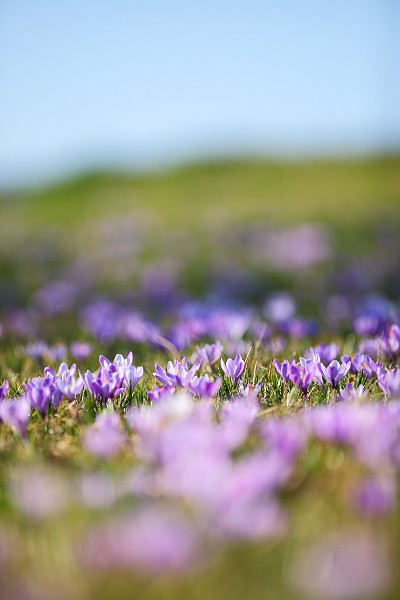 crocus meadow with blue sky
