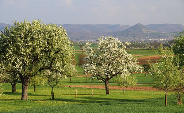 Achalm mountain and fruit tree blossom