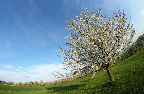 flowering cherry tree photographed with a fisheye lens
