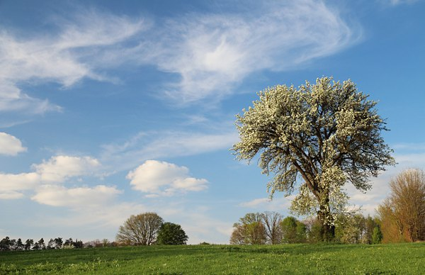 flowering pear tree with blue sky