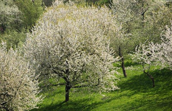 Blick vom Calverbühl auf die Kirschblüte bei Dettingen