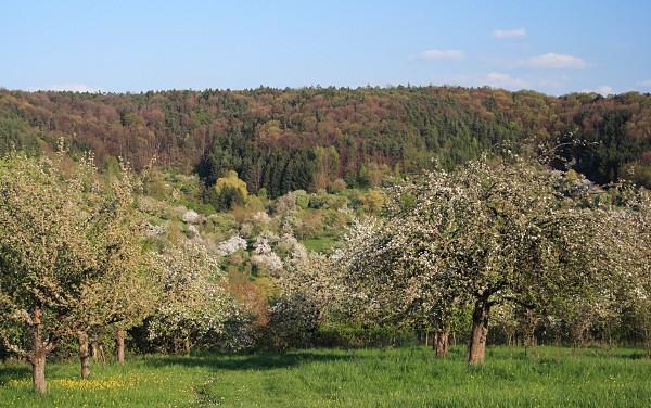 Streuobstbäume am Schönbuchrand