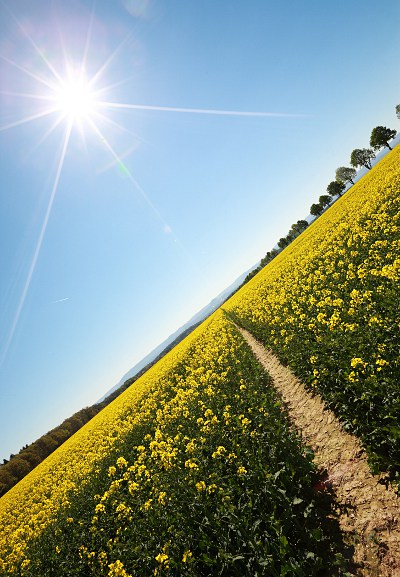 flowering rapeseed field with sun