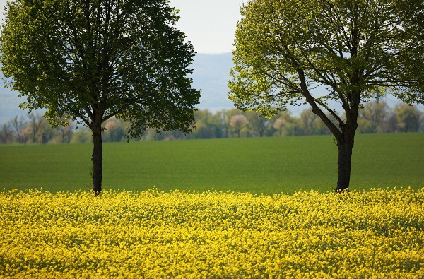 flowering rapeseed with with two lime trees