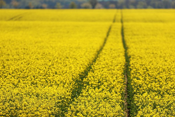 flowering rapeseed field with selective focus