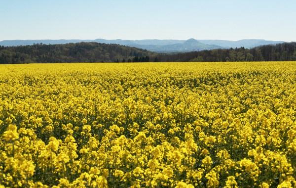 flowerinf rapeseed field with view of the Achalm mountain at the edge of the Schwäbische Alb