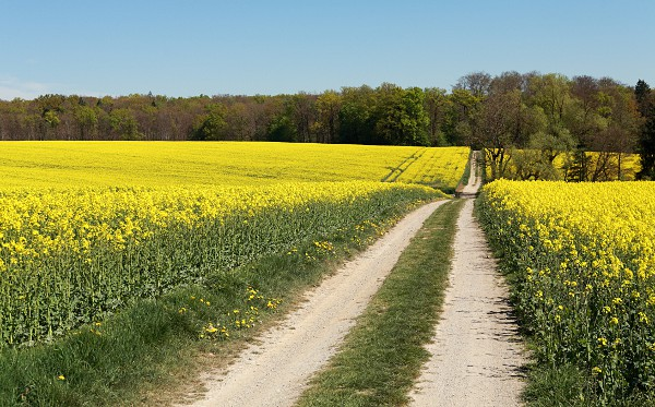 Feldweg durch blühende Rapsfelder