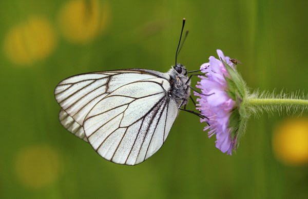 Black-veined White (Aporia crataegi) butterfly on a flower