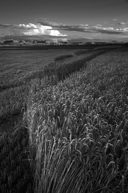 teilweise abgeernetes Getreidefeld bei Einsiedel