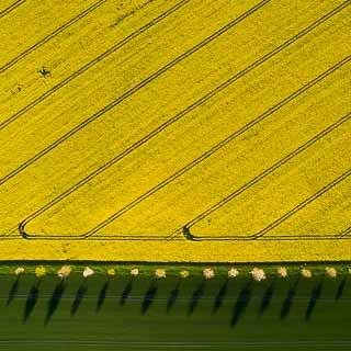 Luftaufnahme blühendes Rapsfeld mit Allee und Schatten