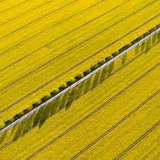 Luftbild von blühenden Rapsfeldern mit diagonaler Halballee