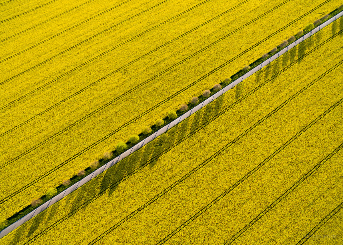 aerial photograph of flowering rapeseed fields with diagonal alley