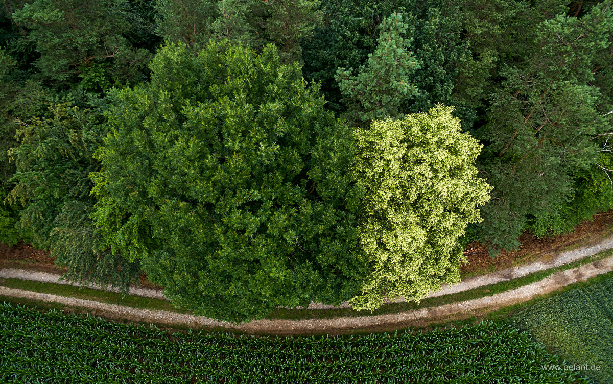 aerial photograph of a flowering lime tree (Tilia) next to an oak at the forest edge