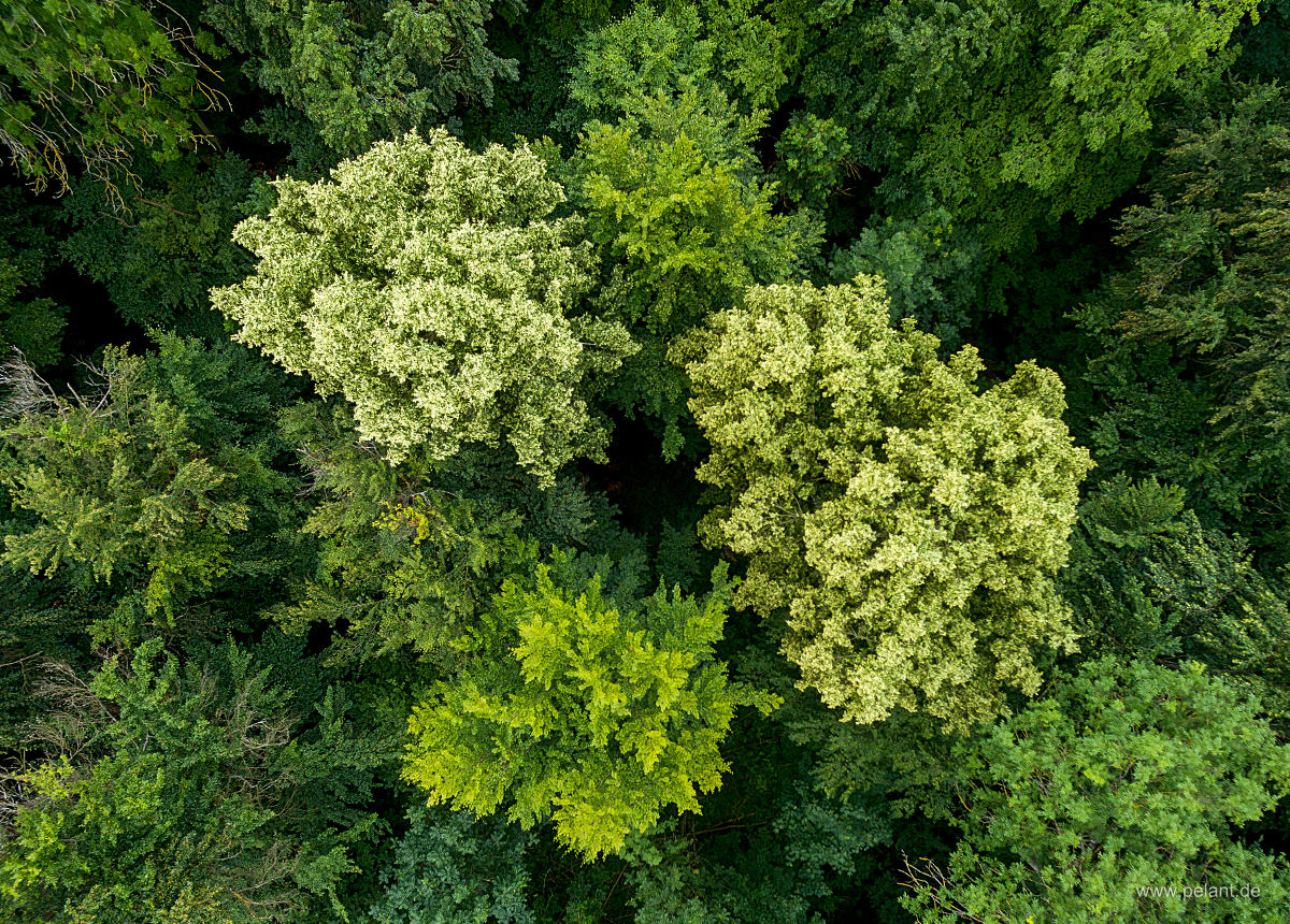 aerial photo of two flowering lime (Tilia spec.) trees in the forest, view of the treetops