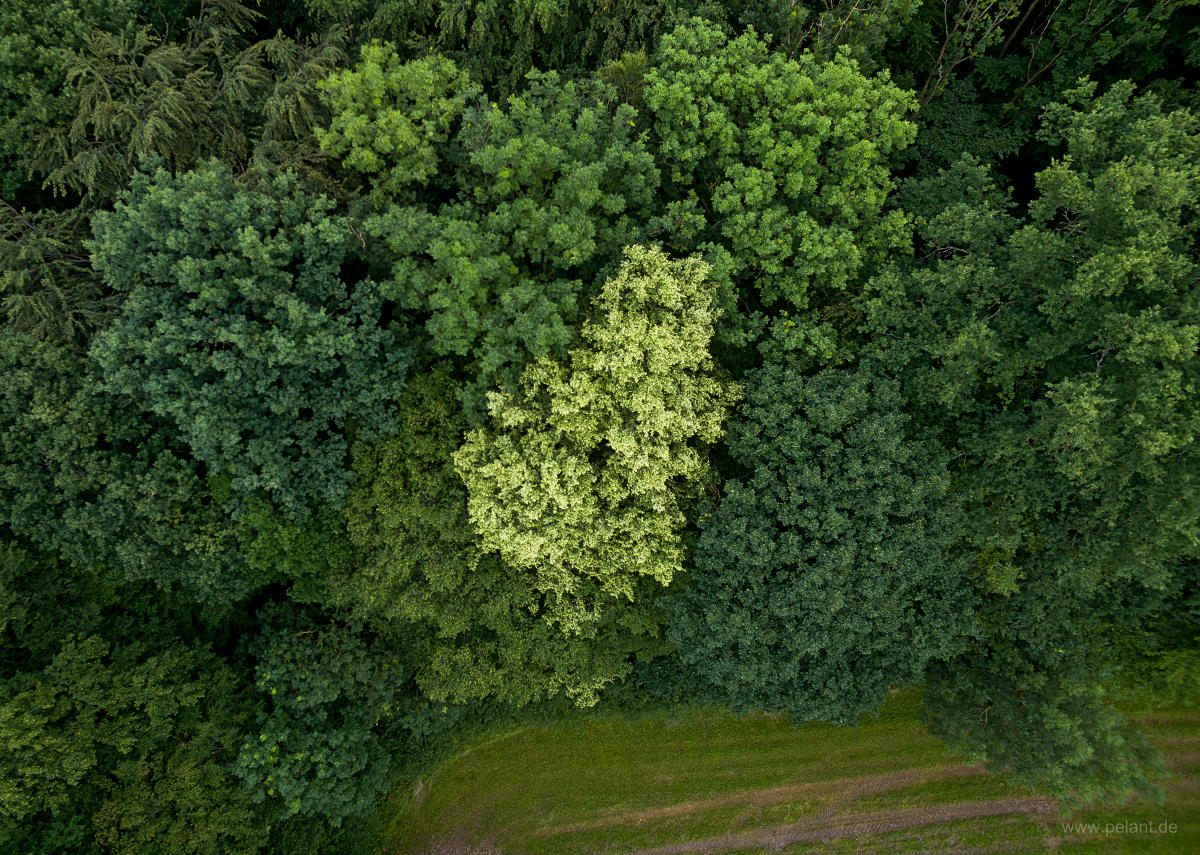 aerial photograph of a flowering lime tree (Tilia spec.) at the forest edge