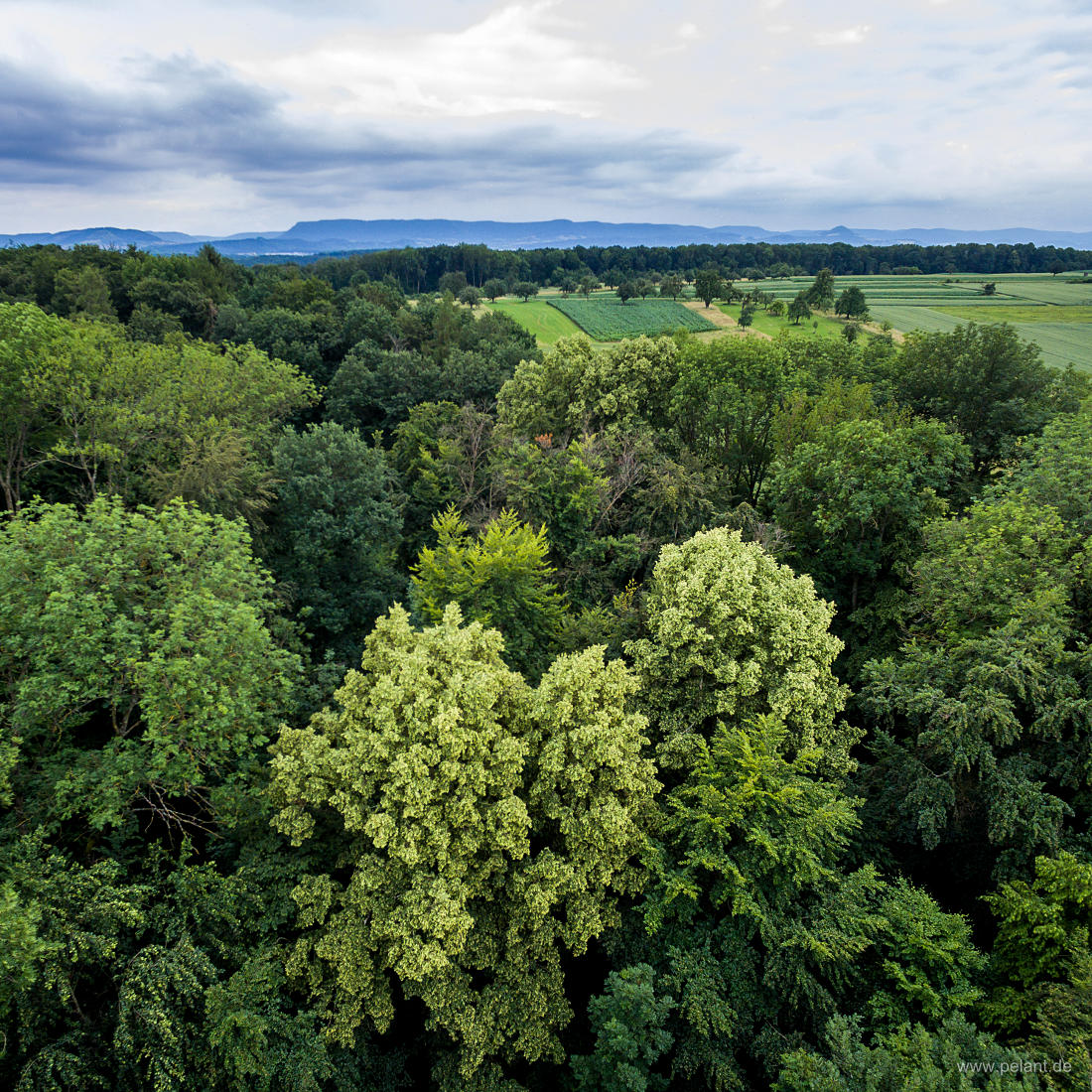 aerial photograph of flowering lime trees (Tilia spec.) in the forest