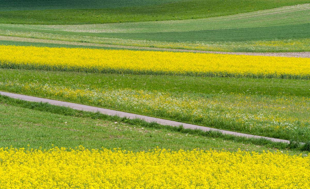 Blühende Rapsfelder auf der Schwäbischen Alb