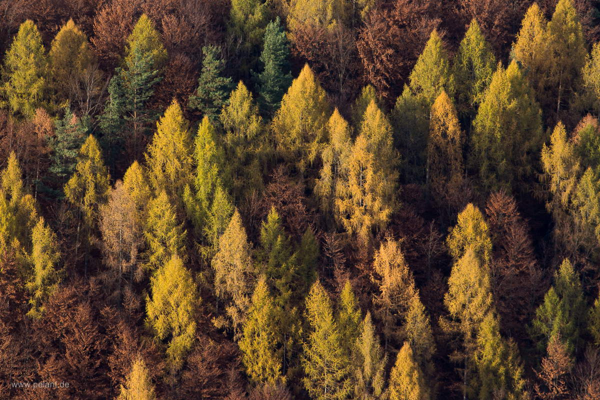 larches in autumn at the slope of the Runder Berg (round mountain) near Bad Urach