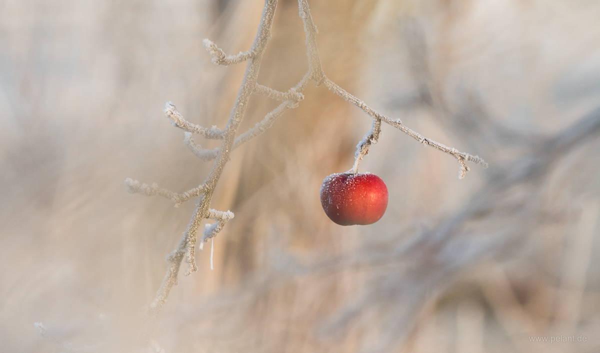 roter Apfel mit Reif am Baum