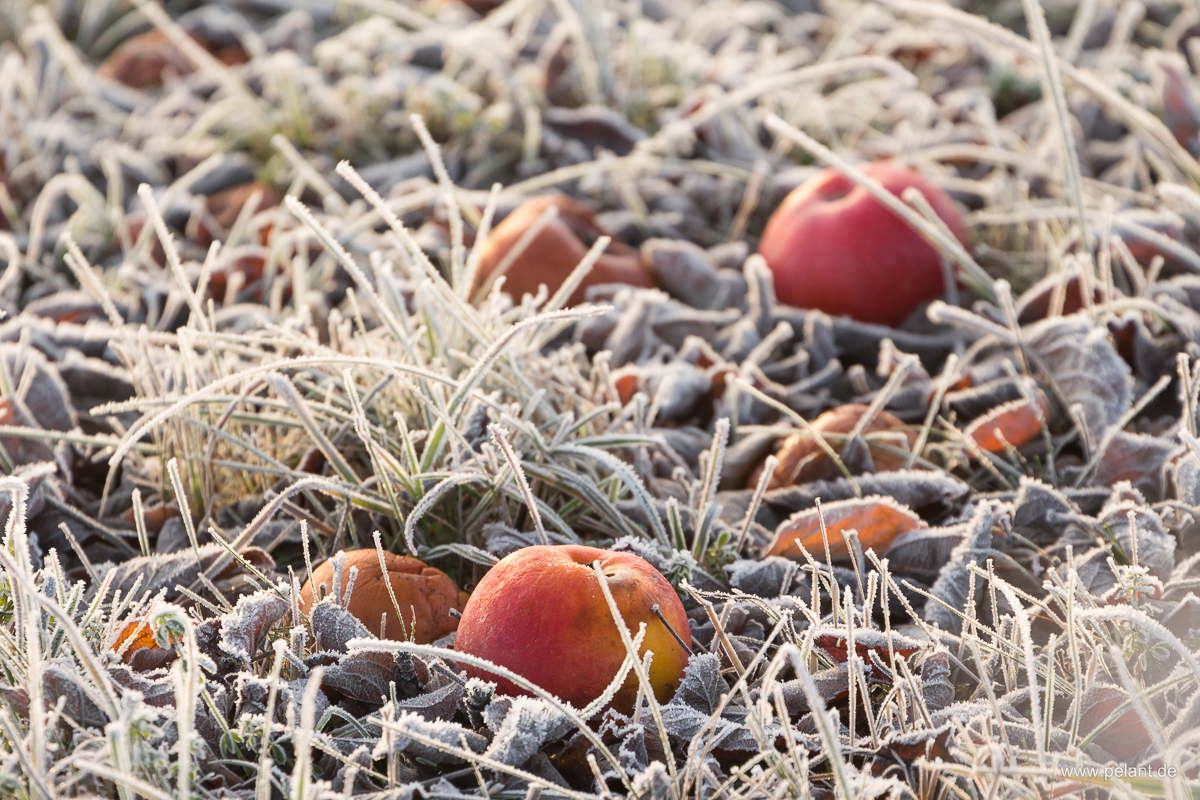 frozen red apples