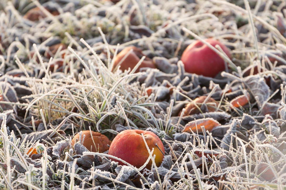 Rote Äpfel mit Reif
