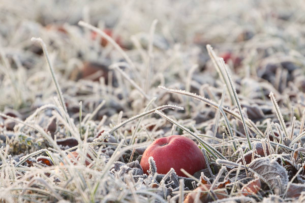 Roter Apfel im Gras mit Reif