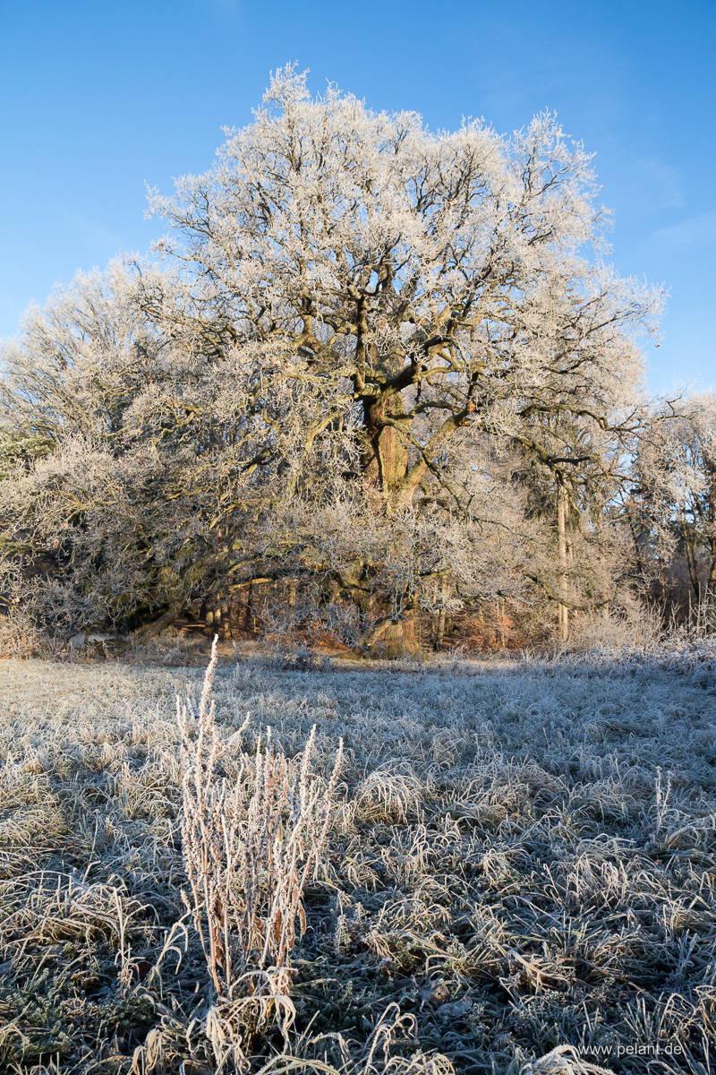 Sulzeiche am Schönbuchrand mit Reif an einem Wintermorgen