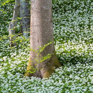 Bärlauchblüte (Allium ursinum) im Schönbuch