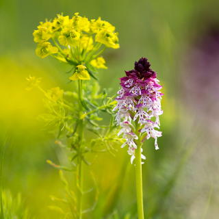 Neotinea ustulata (burnt-tip orchid) with Euphorbia cyparissias