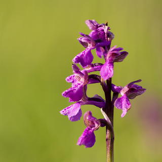 Orchis morio (green-winged orchid)