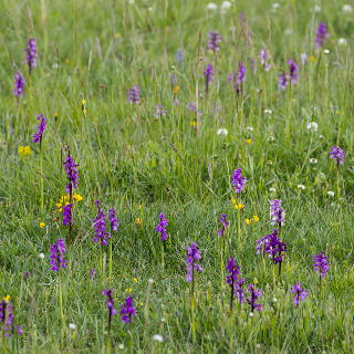 meadow with orchids (Orchis morio)