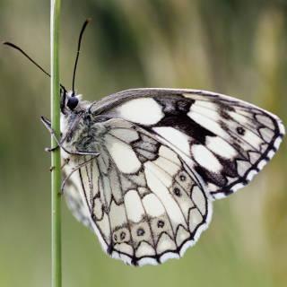 Melanargia galathea (marbled white) butterfly
