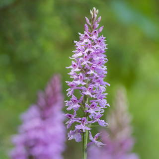 Dactylorhiza fuchsii (common spotted orchid)