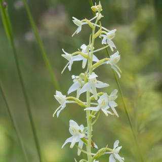 Platanthera bifolia (lesser butterfly-orchid)