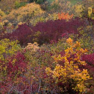 Bunte Sträucher am Schönbuch-Westhang im Herbst