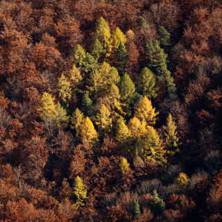 Lärchen am Albtrauf im Herbst