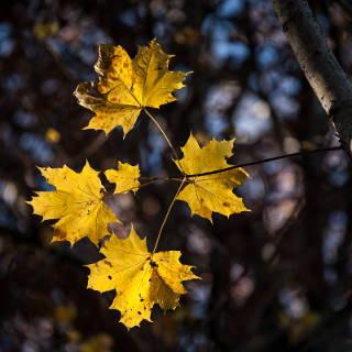 Herbstlaub Spitzahorn (Acer platanoides)