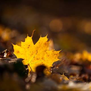 Gelb verfärbtes Spitzahornblatt im Herbst