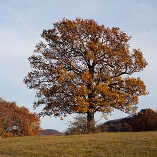 Eiche im Herbst (auf der Wanne bei Pfullingen)