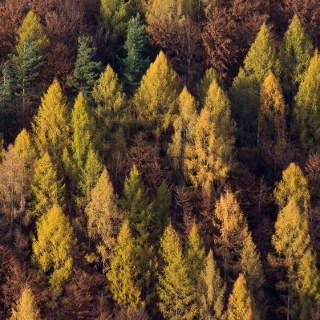 Lärchen im Herbst am Hang des Runden Berges bei Bad Urach