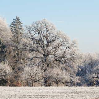Blick auf die Sulzeiche mit Reif an einem Wintermorgen