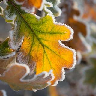 Eichenblatt mit Reif